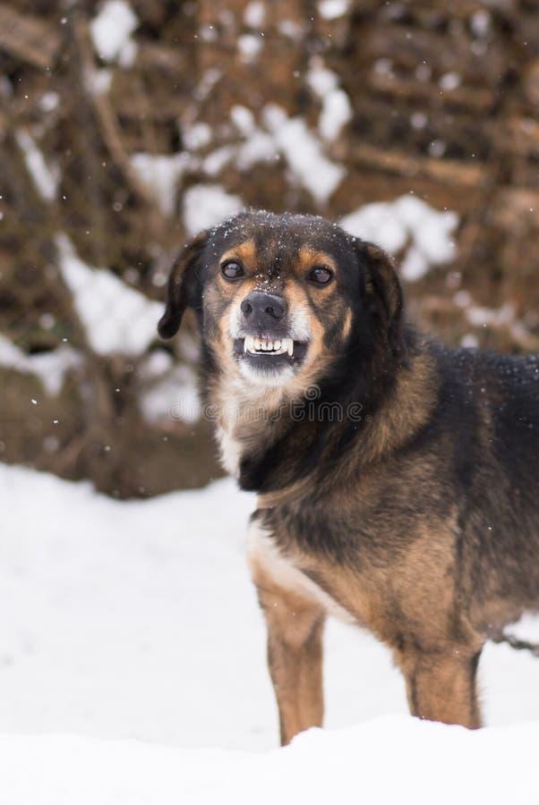 Agresywny, gniewny pies, zdjęcia royalty free