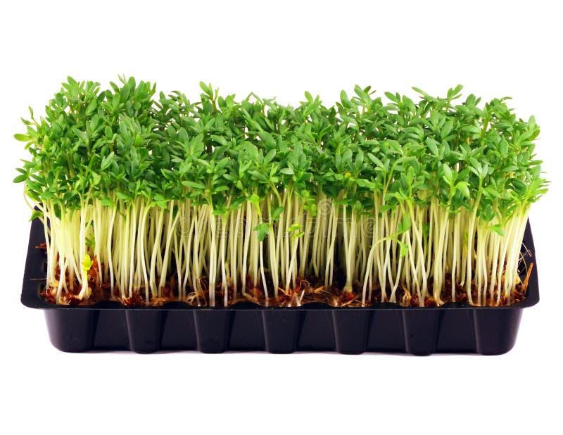 Agrião de jardim na bandeja isolada no branco imagem de stock