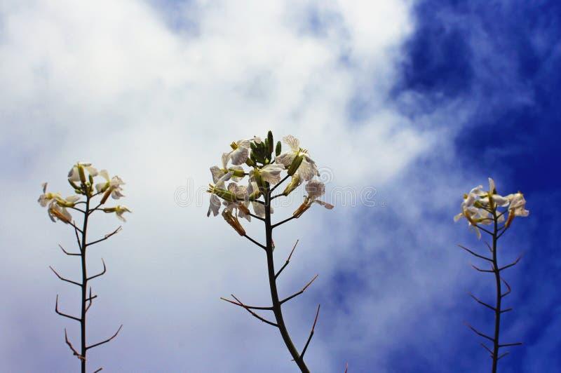 Agrião violeta chinês e o céu azul imagens de stock