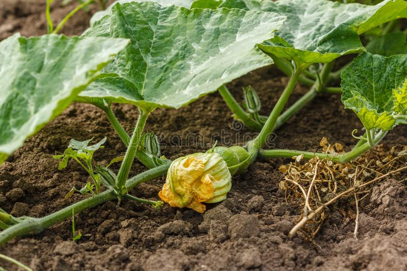 Agricalture plants and field. Pumpkin flower on soil. Crop grow royalty free stock photos