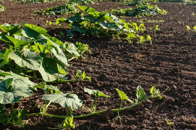 Agricalture plants and field. Pumpkin grow. Agricalture plants and field. Pumpkin crop grow stock photography