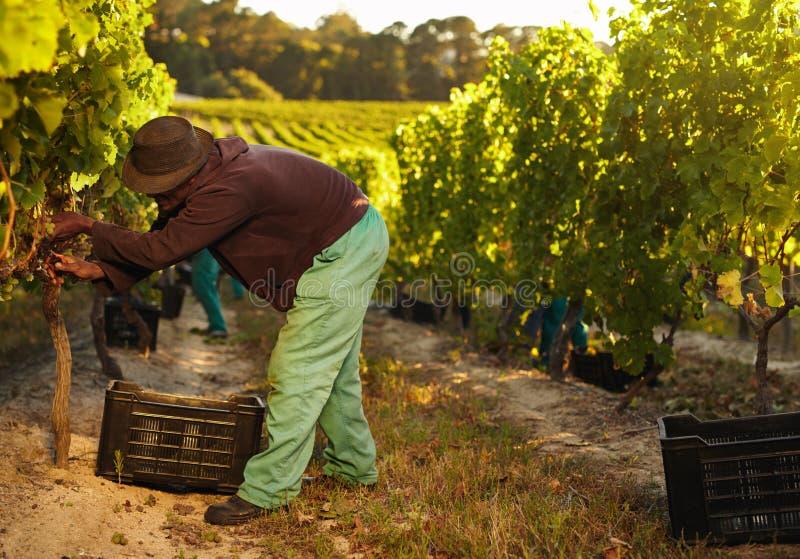 Agricoltore africano che raccoglie l'uva immagine stock libera da diritti
