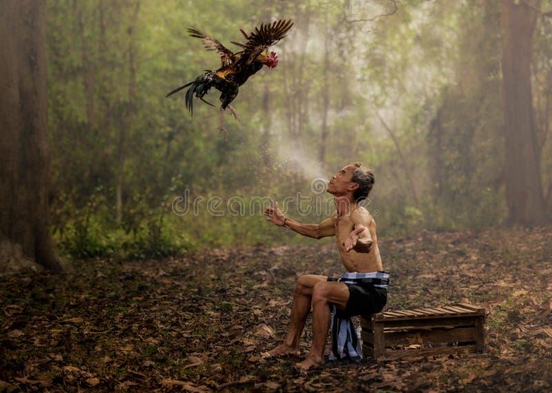 Agricoltore asiatico che prepara il suo gallo di combattimento immagine stock libera da diritti