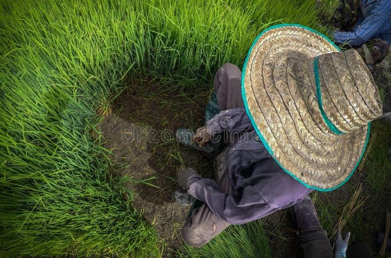 Agricoltore asiatico con il cappello di paglia tradizionale durante il riso che trapianta nella risaia fotografie stock