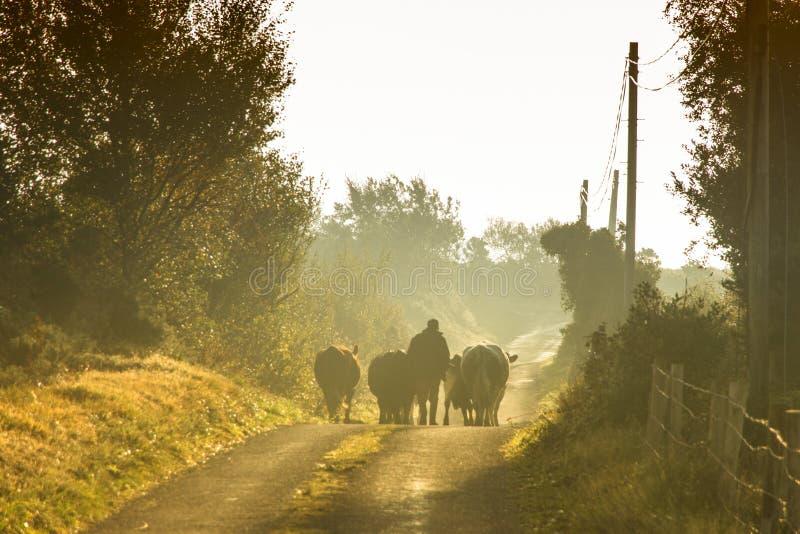 Agricoltore che cammina con le mucche fotografia stock libera da diritti