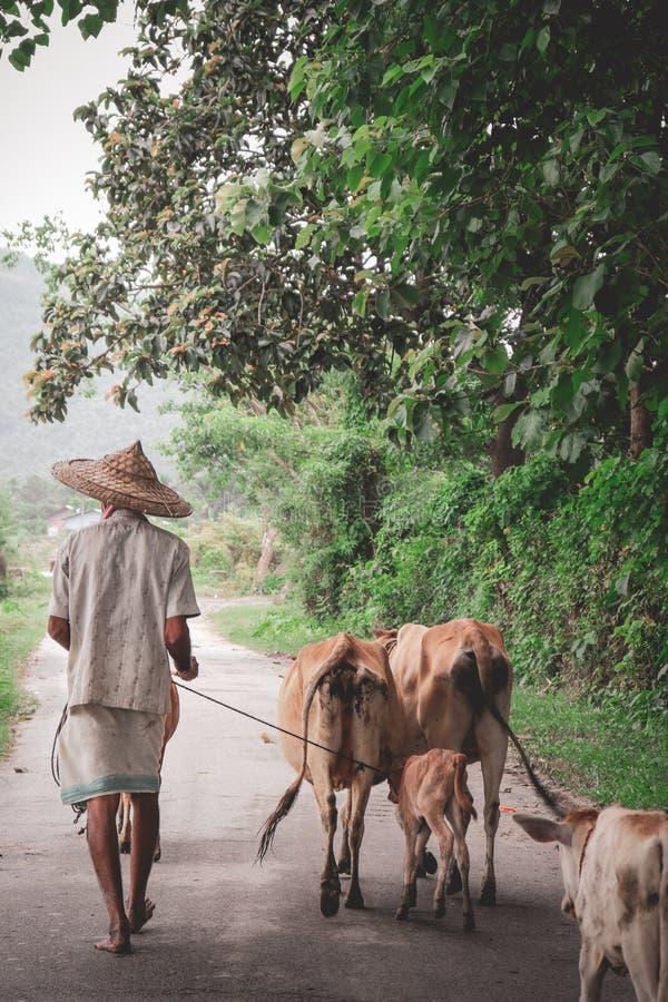 Agricoltore che cammina con le mucche in giungla immagini stock libere da diritti