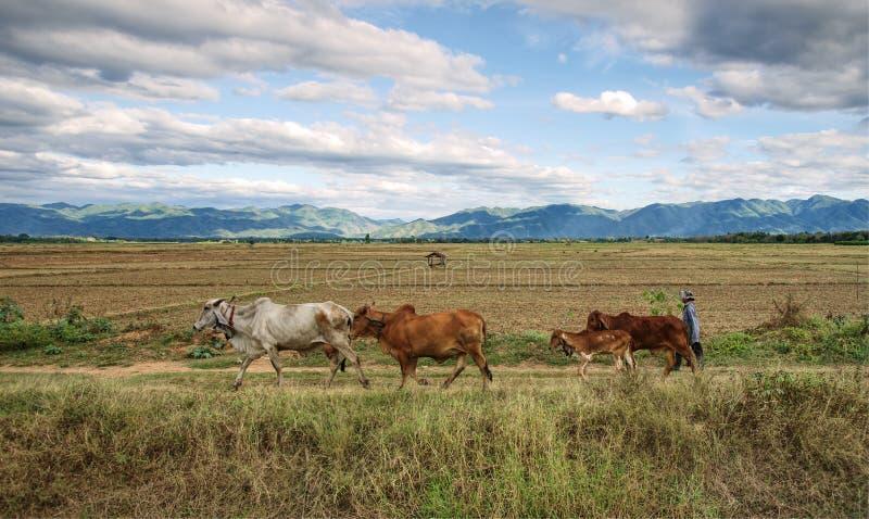 Agricoltore che cammina per dirigersi con le mucche che passano il giacimento ed il paese del riso scena laterale, vita lenta sos immagine stock libera da diritti
