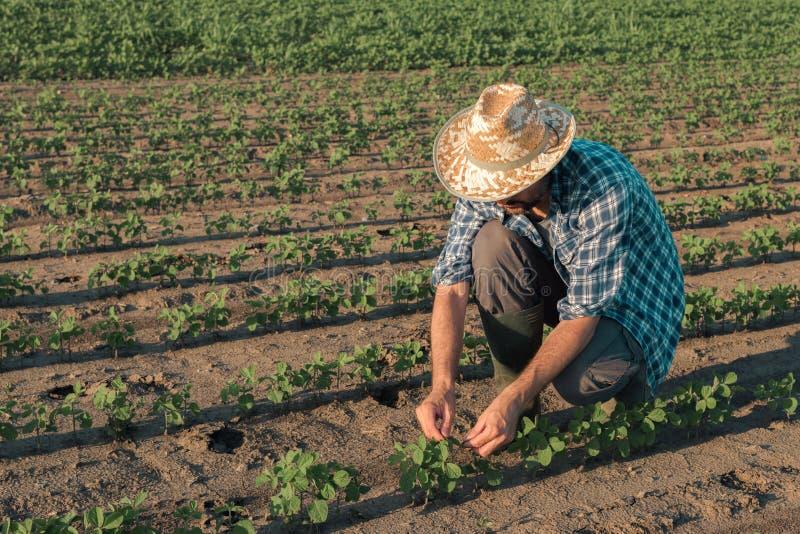Agricoltore che lavora alla piantagione della soia, sviluppo d'esame dei raccolti immagine stock libera da diritti