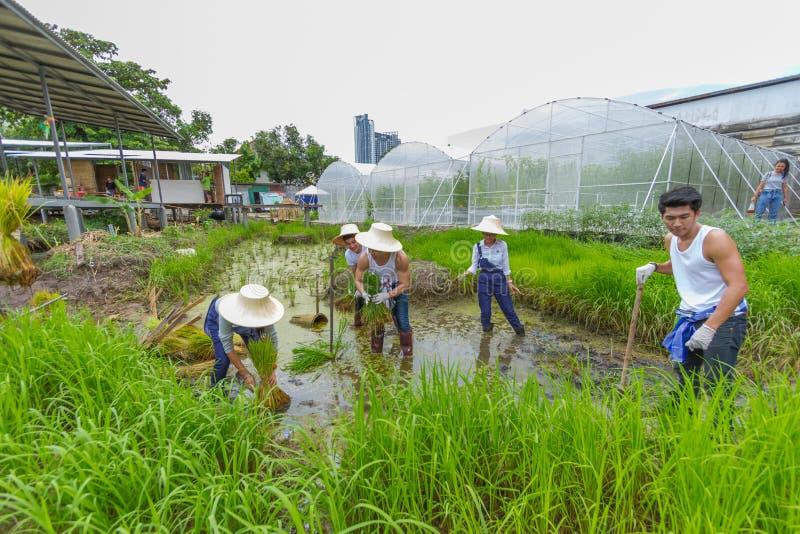 Agricoltore che pianta l'alberello del riso sul campo di risaia in azienda agricola organica fotografia stock