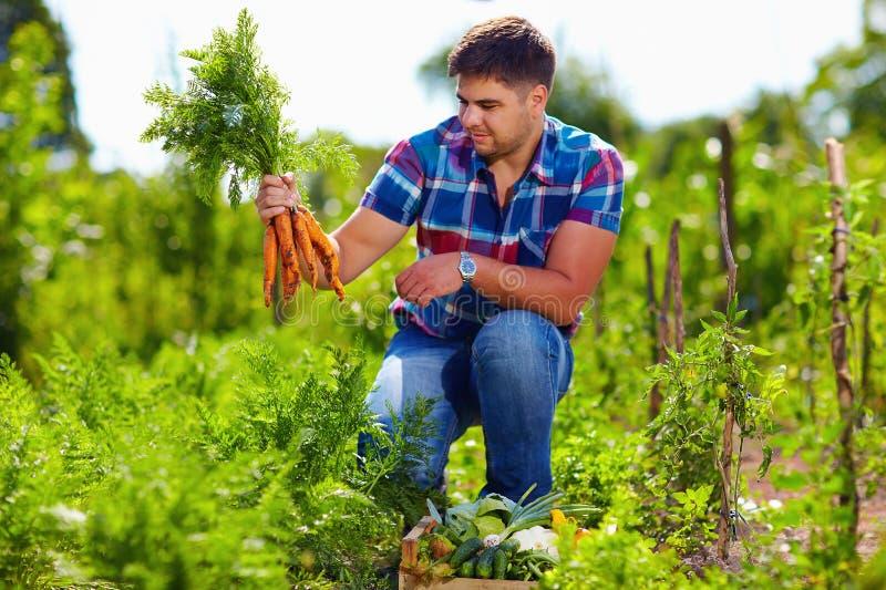 Agricoltore che raccoglie le carote in orto fotografia stock