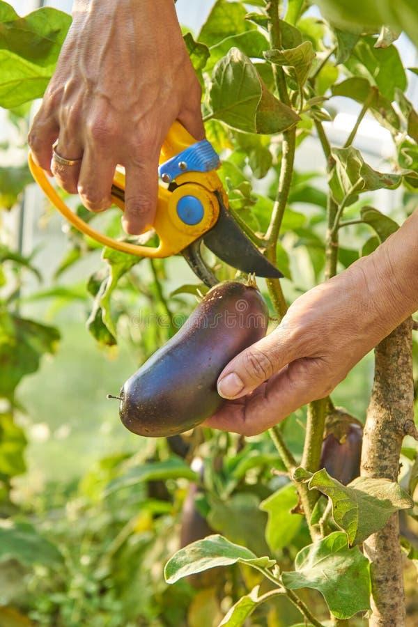 Agricoltore che raccoglie le melanzane mature organiche in serra con il pruner del giardino agricoltura e concetto di giardinaggi fotografia stock