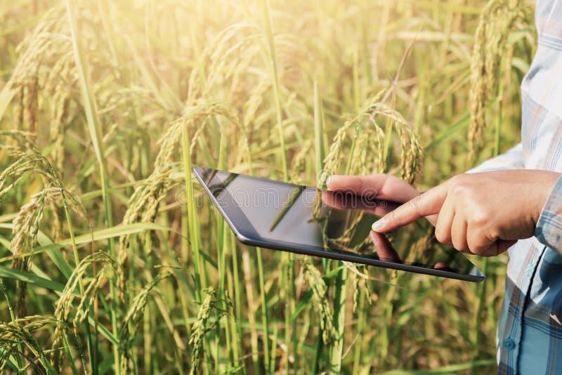 agricoltore che usando tecnologia della compressa che ispeziona crescita del riso fotografie stock libere da diritti