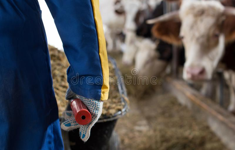 Agricoltore con alimentazione per le mucche in carriola fotografia stock