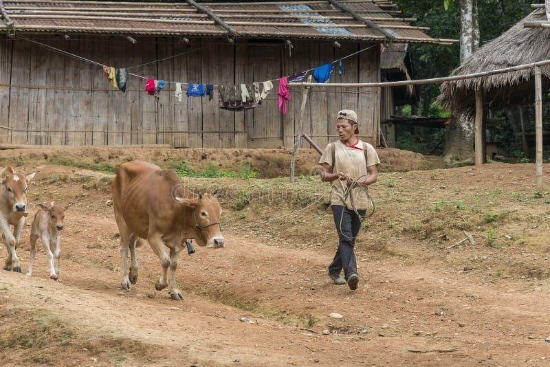 Agricoltore con le sue mucche nel Laos fotografia stock libera da diritti
