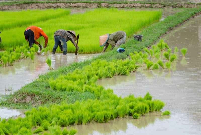 Agricoltore del Laos che pianta sul terreno coltivabile del risone fotografie stock libere da diritti