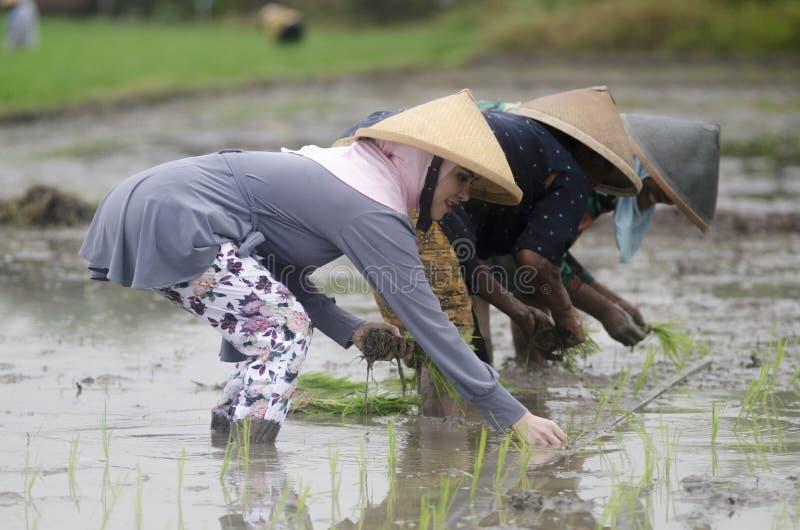 AGRICOLTORE DEL LAVORO DI AGRICOLTURA DELLA DONNA DELL'INDONESIA immagine stock