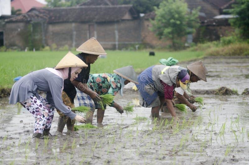 AGRICOLTORE DEL LAVORO DI AGRICOLTURA DELLA DONNA DELL'INDONESIA immagine stock libera da diritti