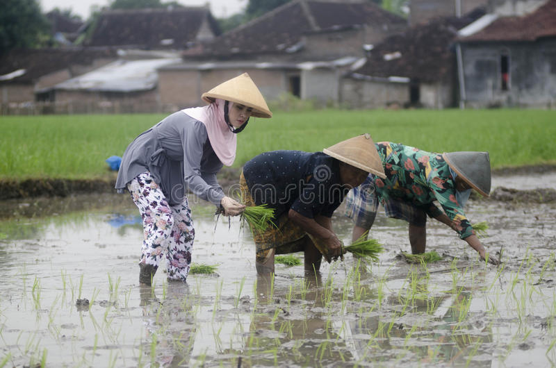 AGRICOLTORE DEL LAVORO DI AGRICOLTURA DELLA DONNA DELL'INDONESIA fotografie stock libere da diritti