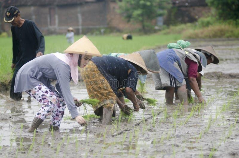 AGRICOLTORE DEL LAVORO DI AGRICOLTURA DELLA DONNA DELL'INDONESIA fotografia stock libera da diritti