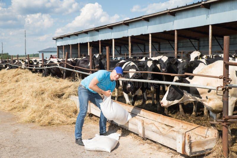 Agricoltore dell'uomo che lavora all'azienda agricola con le mucche da latte immagine stock libera da diritti