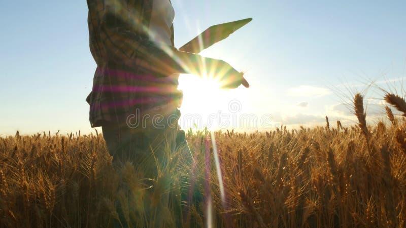 Agricoltore della giovane donna nel giacimento di grano sul fondo di tramonto Una ragazza coglie le punte del grano, quindi utili immagini stock libere da diritti