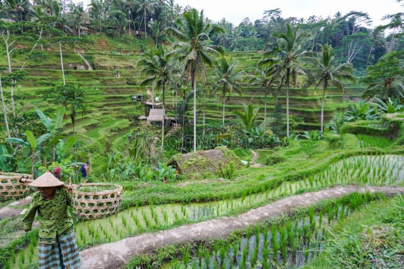 Agricoltore di balinese con un funzionamento del canestro sui terrazzi verdi UBUD, Indonesia, Bali, 11 del riso 08 2018 fotografia stock libera da diritti