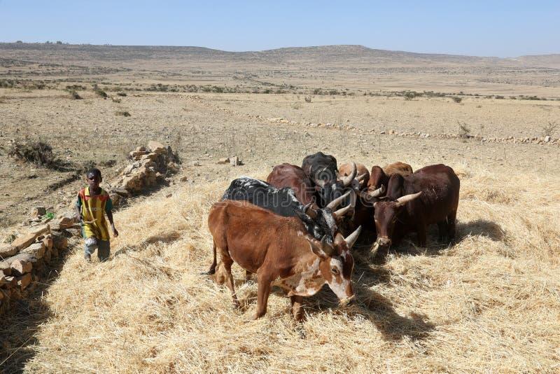 Agricoltore etiopico che usando le sue mucche per il raccolto di trebbiatura immagine stock libera da diritti