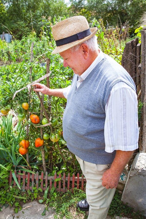 Agricoltore felice fiero della sua coltivazione del pomodoro fotografia stock libera da diritti