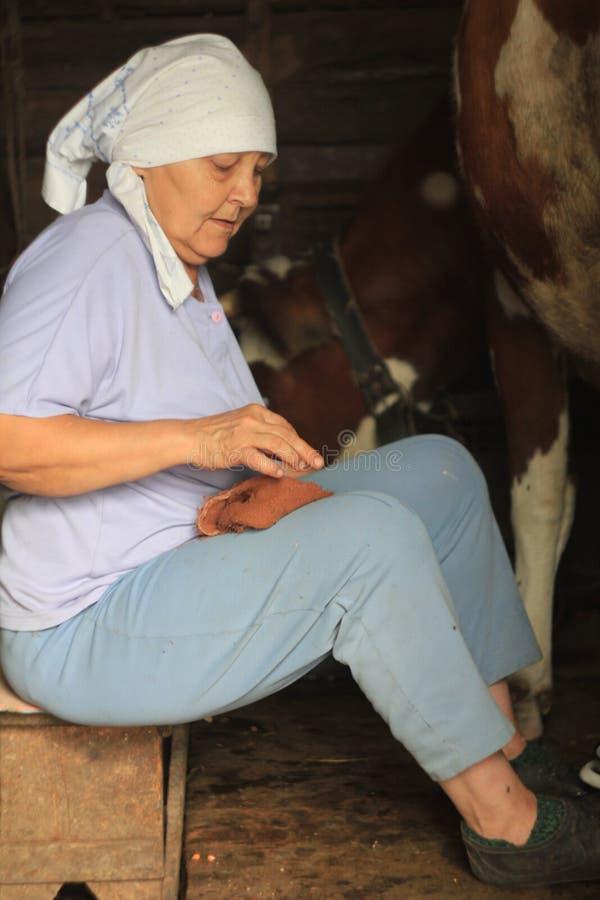 Agricoltore femminile che munge una mucca casalinga in un granaio fotografia stock