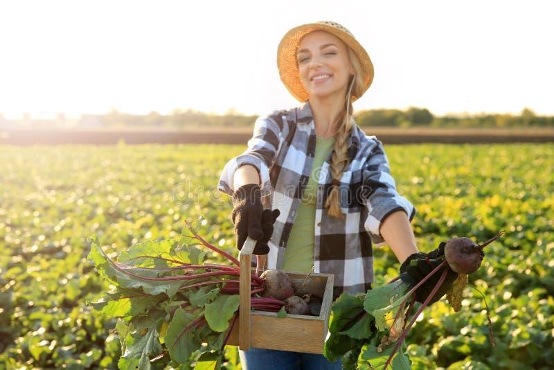Agricoltore femminile che riunisce barbabietola nel campo immagini stock libere da diritti