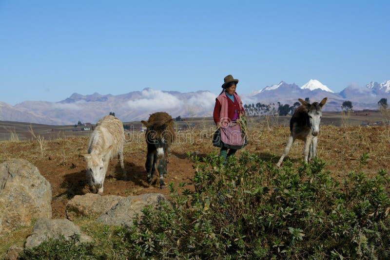 Agricoltore femminile indigeno con gli asini, Perù fotografia stock libera da diritti