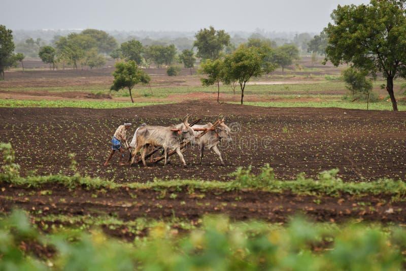 Agricoltore indiano che ara l'azienda agricola con le coppie i manzi fotografie stock libere da diritti