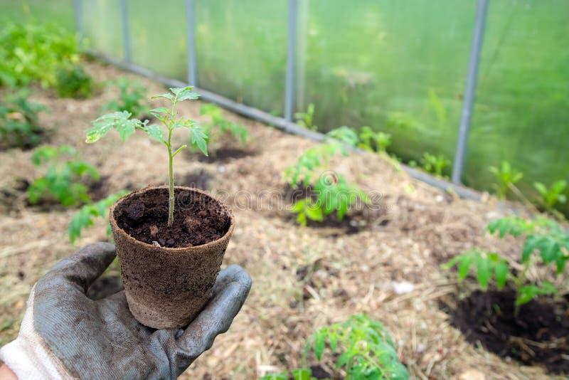 Agricoltore maschio che tiene vaso organico con la pianta di pomodori prima della piantatura dentro nel suolo L'uomo prepara pian immagine stock libera da diritti