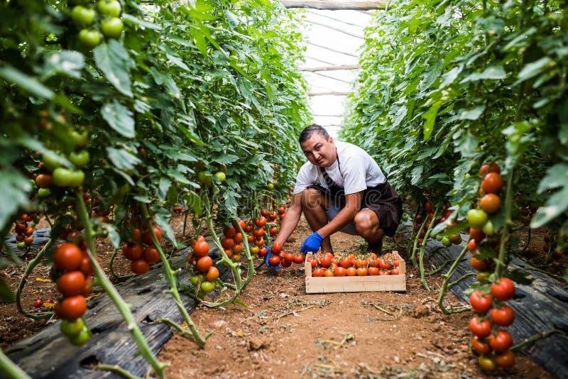 Agricoltore maschio felice attraente che lavora nella serra Raccolto di agricoltura immagine stock