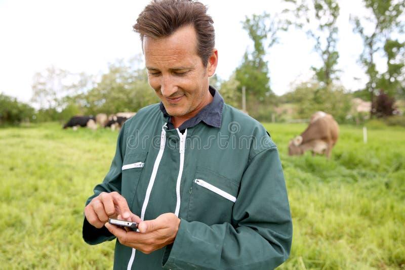 Agricoltore moderno nel campo con le mucche facendo uso dello smartphone fotografia stock