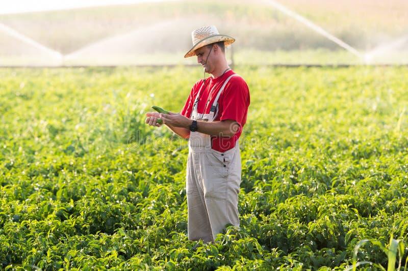 Agricoltore nei giacimenti del pepe immagini stock