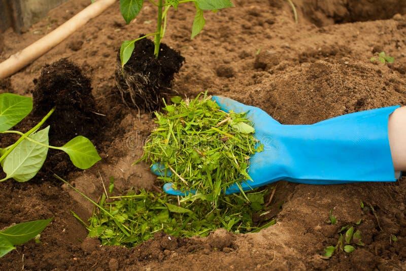 Agricoltore Put Top Dressing della mano di erba per la piantatura del pepe immagine stock libera da diritti