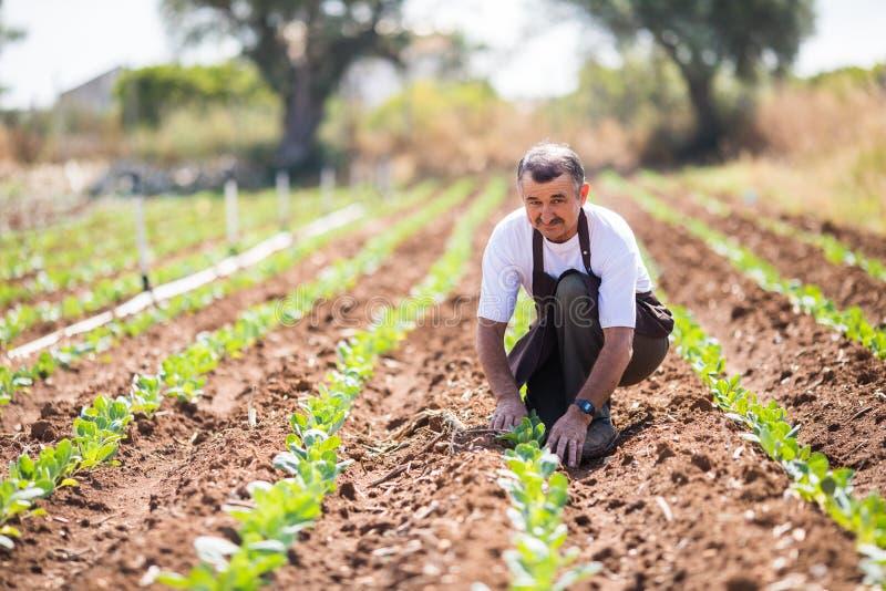Agricoltore senior che controlla stato delle plantule nella serra agricoltura fotografia stock