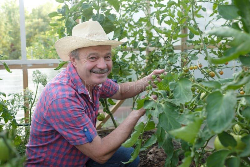 Agricoltore senior ispano che controlla i suoi pomodori in una serra fotografia stock