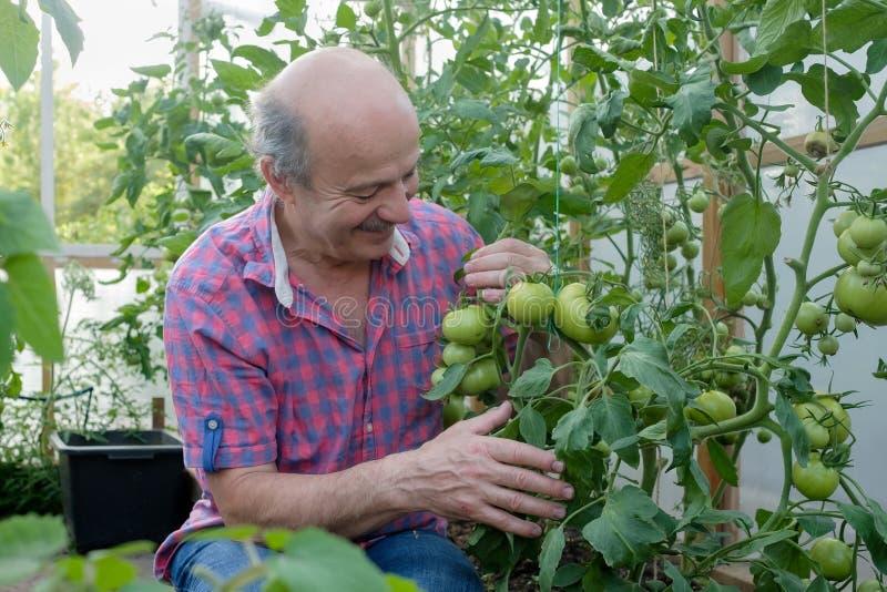 Agricoltore senior ispano che controlla i suoi pomodori in una serra immagini stock