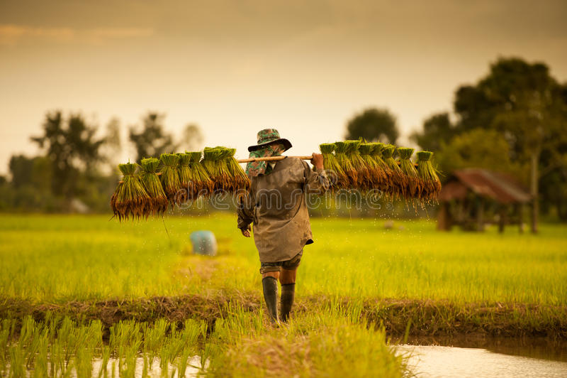 Agricoltore sui campi verdi fotografie stock