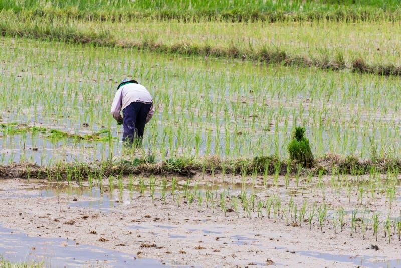 Agricoltore tailandese che pianta sul giacimento del riso fotografia stock