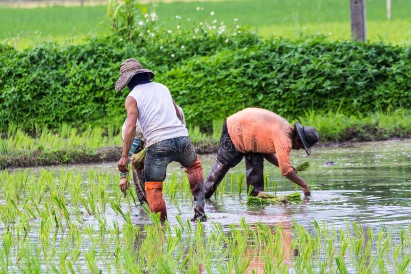 Agricoltore tailandese che pianta sul giacimento del riso immagini stock