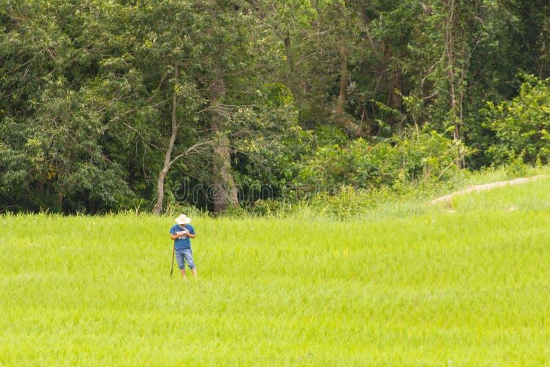 Agricoltore tailandese con le zappe nel giacimento del riso immagine stock