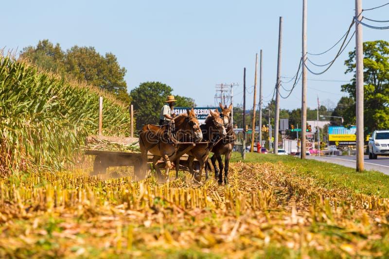 Agricoltore Using Mules di Amish fotografie stock