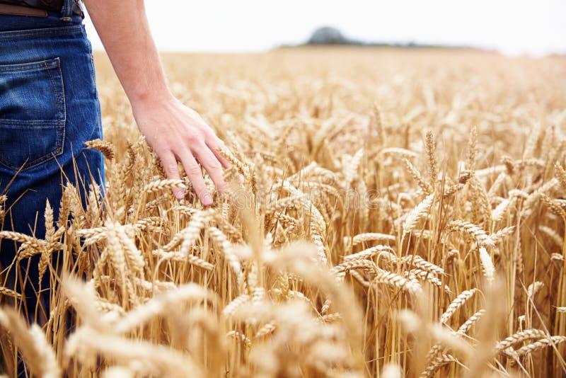 Agricoltore Walking Through Field che controlla il raccolto del grano fotografia stock