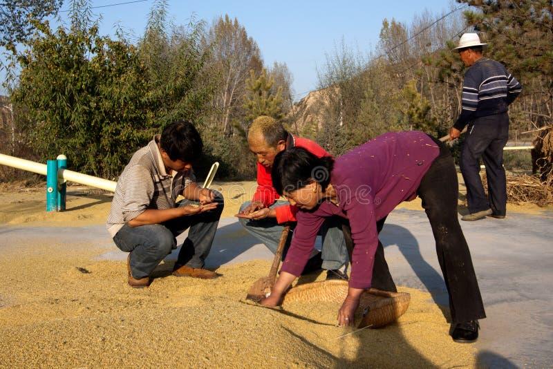 Agricoltori che controllano i frumenti su terra di secchezza