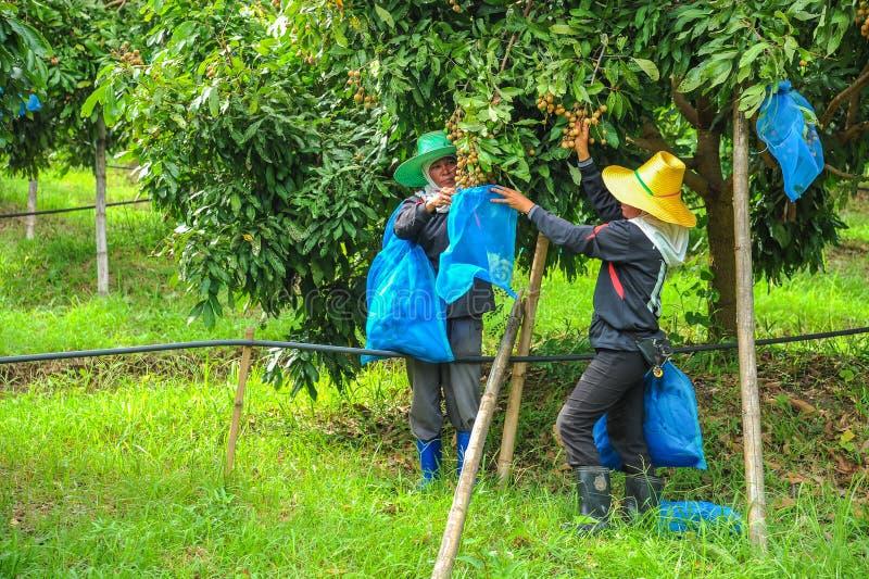 Agricoltori che coprono longan di borse di plastica della maglia fotografie stock libere da diritti