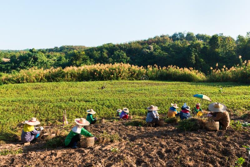 Agricoltori dell'arachide immagini stock libere da diritti