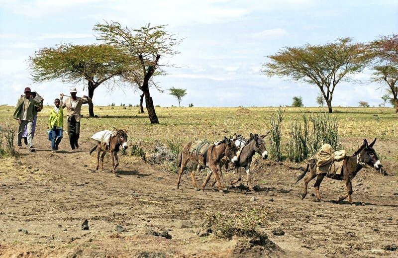 Agricoltori etiopici con il raccolto e gli asini di grano fotografie stock